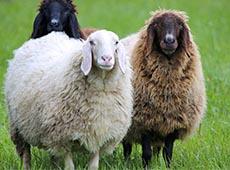Curso Criação de Ovinos para Produção de Lã