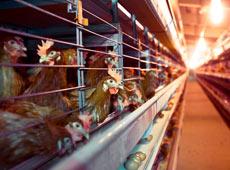 Galinhas Poedeiras - Produção e Comercialização de Ovos