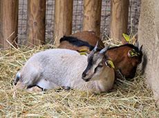 Criação de Cabras Leiteiras - Instalações, Raças e Reprodução