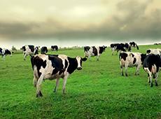 Avaliação, Julgamento e Preparo de Vacas Leiteiras para Eventos