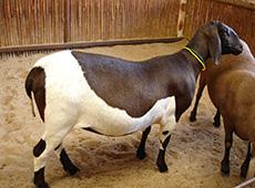 Curso Inseminação Artificial em Ovinos Convencional e em Tempo Fixo