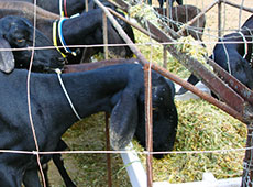 Formulação e Fabricação de Ração para Ovinos na Fazenda