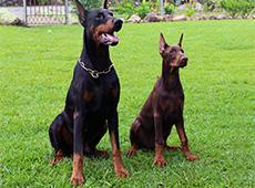 Curso Adestramento de Cães de Guarda