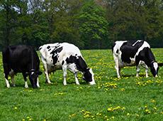 Alimentação de Vacas Leiteiras em Pasto e em Confinamento