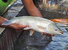 Curso Criação de Peixes - Como Implantar uma Piscicultura
