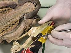 Anatomia Veterinária: Anatomia Sistemática dos Animais Domésticos