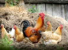 Avicultura - Produção e Principais Doenças
