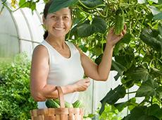 Cultivo de Pepino em Estufa