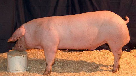 Processador de Carne Suína