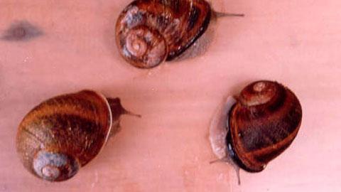 Escargots - A Tecnologia Correta de Criação
