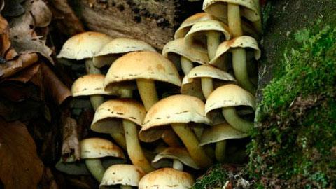Cultivo do Cogumelo Champignon