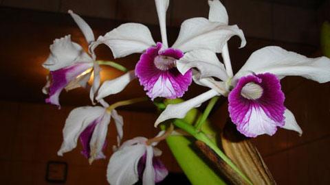 Cultivo de Orquídeas para Fins Comerciais ou Hobby