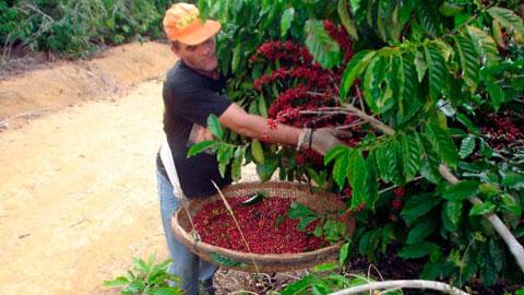 Produção de Café Orgânico