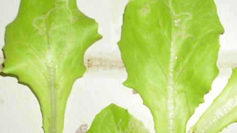 Hidroponia - Controle de Pragas e Doenças da Alface