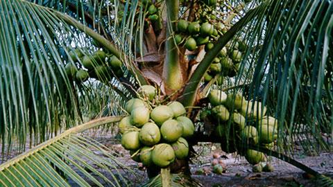 7 Cursos na Área Cultivo de Coco