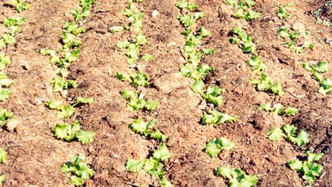 Horta Caseira - Implantação e Cultivo