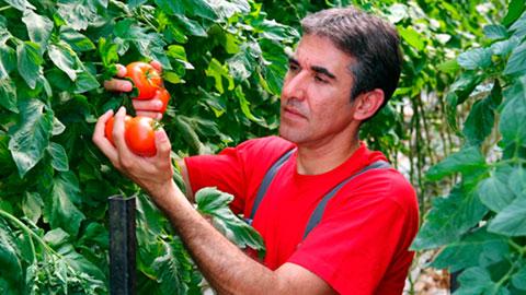 Cultivo Orgânico de Tomate, Pimentão, Abóbora e Pepino