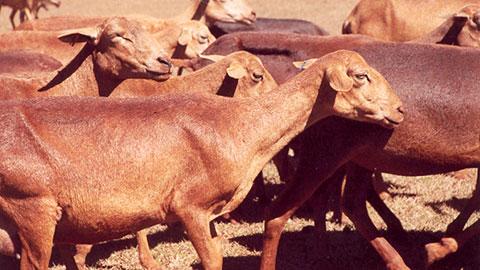 Criação de Ovinos Deslanados