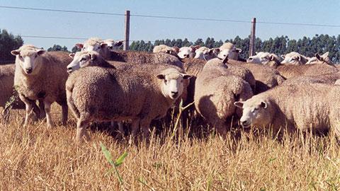Criação de Ovinos para Produção de Lã