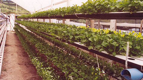 Hidroponia  -  O Cultivo sem Solo