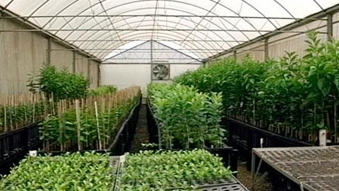 Cultivo Orgânico de Citros
