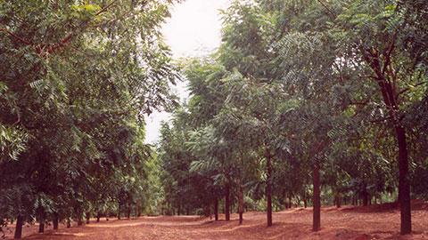 Cultivo e Uso do Nim