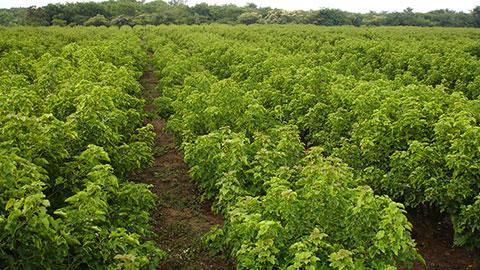 Cultivo de Pinhão-Manso para Produção de Biodiesel