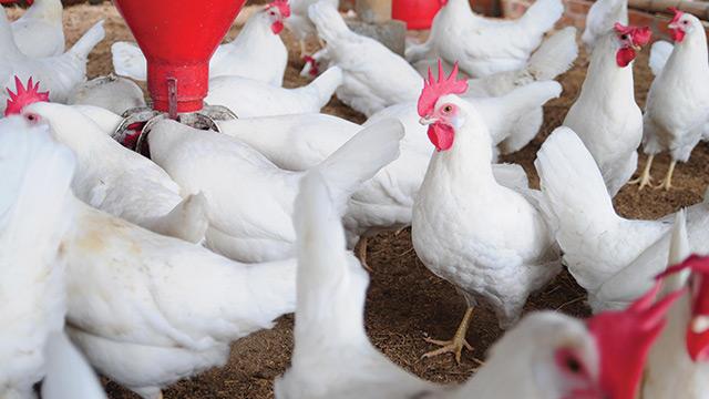Cursos na área Avicultura