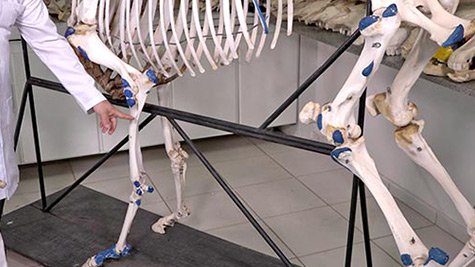 Aparelho Locomotor - Porção Passiva - Osteologia do Membro Torácico - Cintura Escapular e Braço