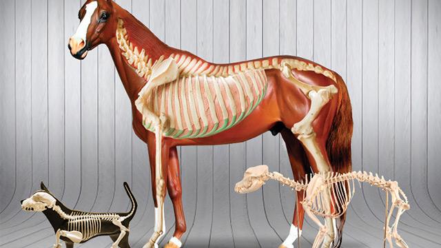 Anatomia Veterinária - Osteologia e Miologia de Animais Domésticos