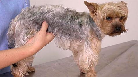 Semiologia do Sistema Urinário em Cães e Gatos
