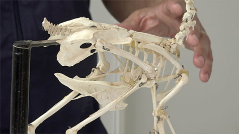 Anatomia e Fisiologia de Aves