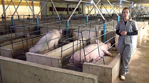 Manejos Aplicados à Maternidade I - Instalações e Manejo da Porca