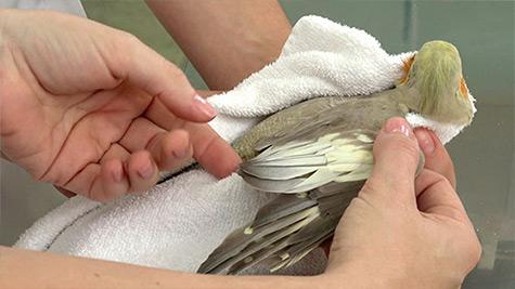 Avaliação Clínica em Aves