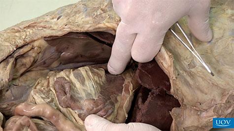 Glândulas Relacionadas ao Aparelho Digestório
