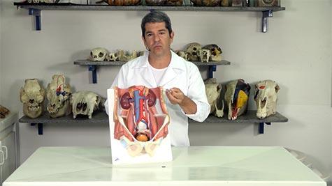 Aparelho Urogenital - Órgãos Urinários