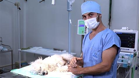 Orquiectomia em Cão