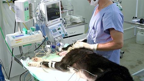 Osteossíntese de Mandíbula em Cão