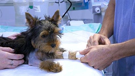 Osteossíntese de Úmero em Cão