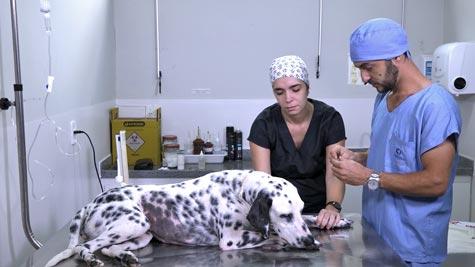 Ureterotomia em Cão