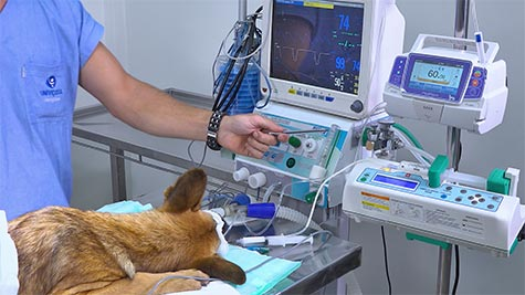 Osteossintese de Pelve em Cão: Técnica Banda de Tensão e Pino
