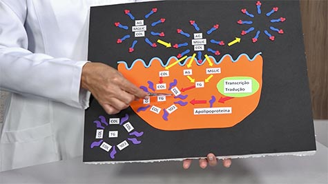 Fisiologia do Sistema Digestório: Absorção Gastrintestinal de Nutrientes e Água