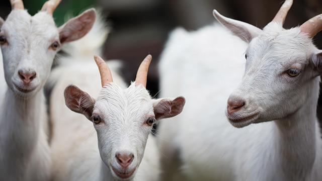 Cursos na área Criação de Cabras